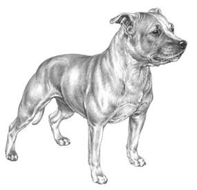 Tegnet Staffordshire Bull Terrier
